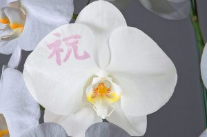 画像3: 化粧蘭3本立 ゴールド(27〜36輪:つぼみ含む)