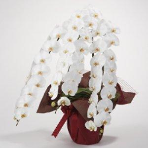 画像1: 胡蝶蘭3本立エクセレント