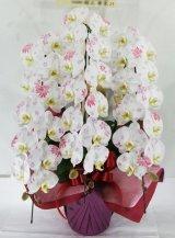 化粧蘭3本立 プラチナ(36輪以上:つぼみ含む)