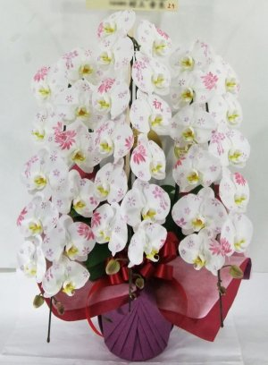 画像1: 化粧蘭3本立 プラチナ(36輪以上:つぼみ含む)