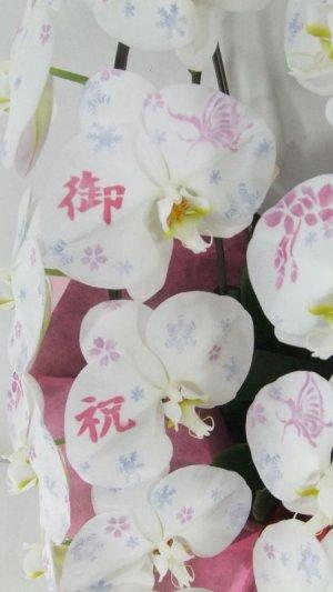 画像3: 化粧蘭5本立 プラチナ(60輪以上:つぼみ含む)