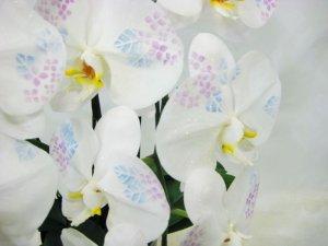 画像3: 化粧蘭3本立 プラチナ(36輪以上:つぼみ含む)