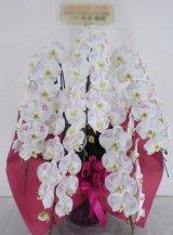 化粧蘭5本立 プラチナ(60輪以上:つぼみ含む)
