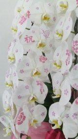化粧蘭2本立 プラチナ(24輪以上:つぼみ含む)