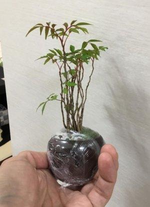 画像2: 冬の盆栽(ピラカンサ)
