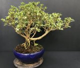 白丁木(樹齢12〜13年)