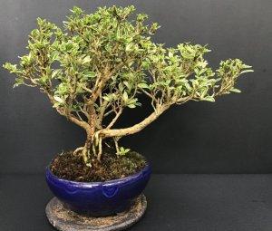 画像1: 白丁木(樹齢12〜13年)